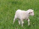 Nachwuchs in unserer Schafsfamilie