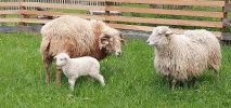 Unsere Schafsfamilie